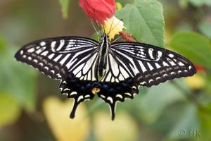 20071017ageha_butterfly