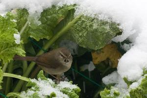 20080207bird_snow