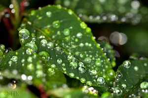 20080626waterly_leaves