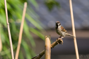 20080713sparrow