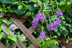 20080825blue_flower
